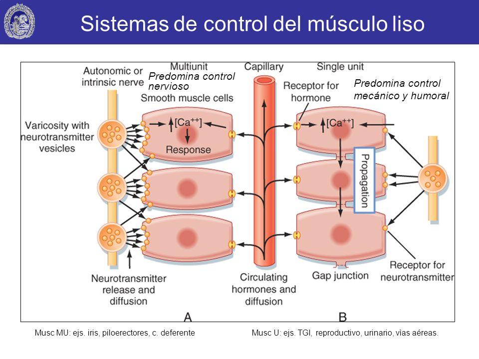 Sistemas de control del músculo liso Musc MU: ejs. iris, piloerectores, c. deferenteMusc U: ejs. TGI, reproductivo, urinario, vìas aéreas. Predomina c