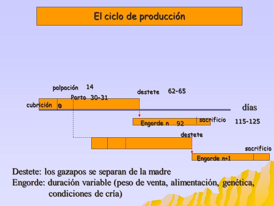 El ciclo de producción Destete: los gazapos se separan de la madre Engorde: duración variable (peso de venta, alimentación, genética, condiciones de c