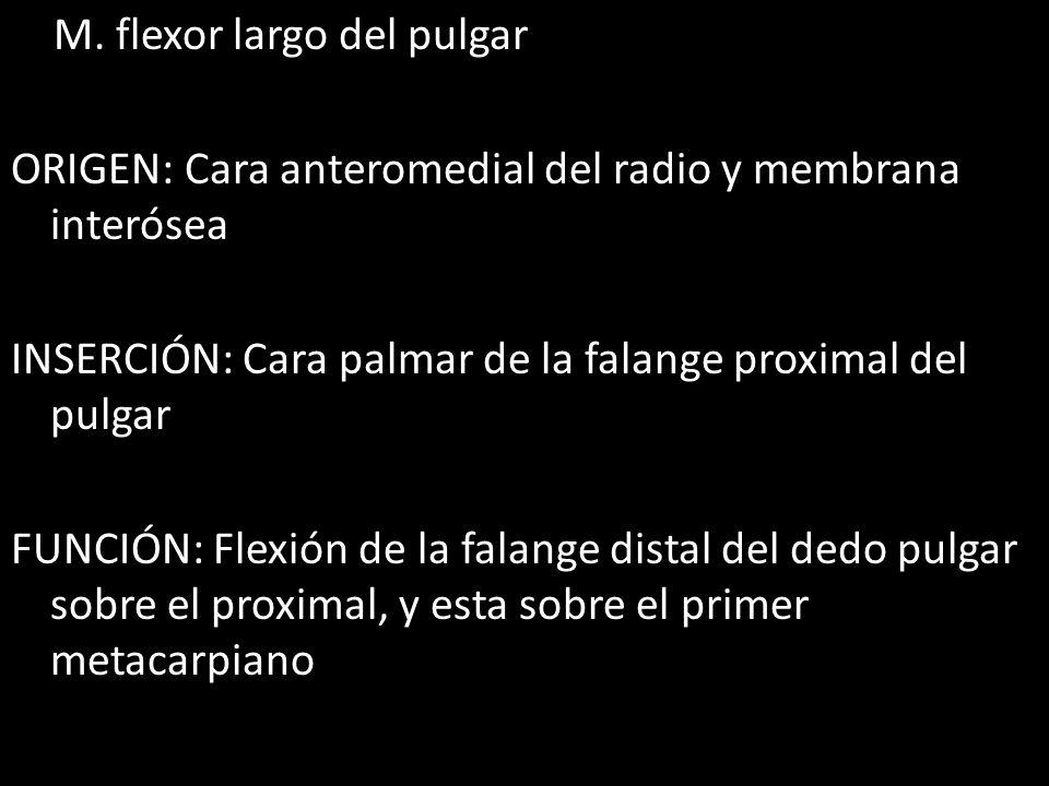 M. flexor largo del pulgar ORIGEN: Cara anteromedial del radio y membrana interósea INSERCIÓN: Cara palmar de la falange proximal del pulgar FUNCIÓN: