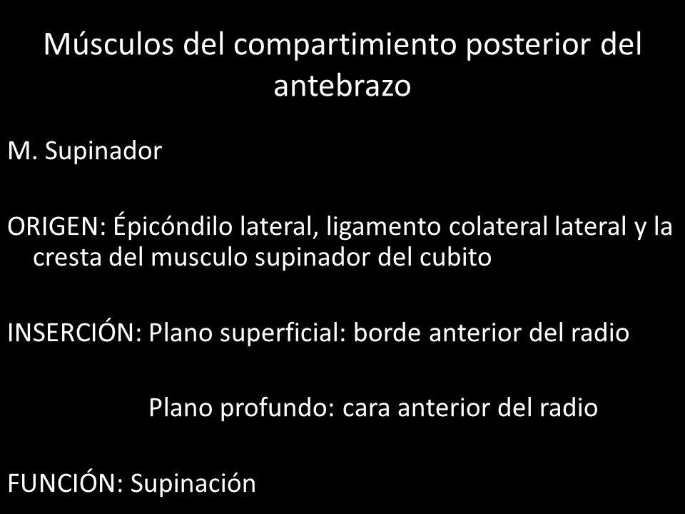 Músculos del compartimiento posterior del antebrazo M. Supinador ORIGEN: Épicóndilo lateral, ligamento colateral lateral y la cresta del musculo supin