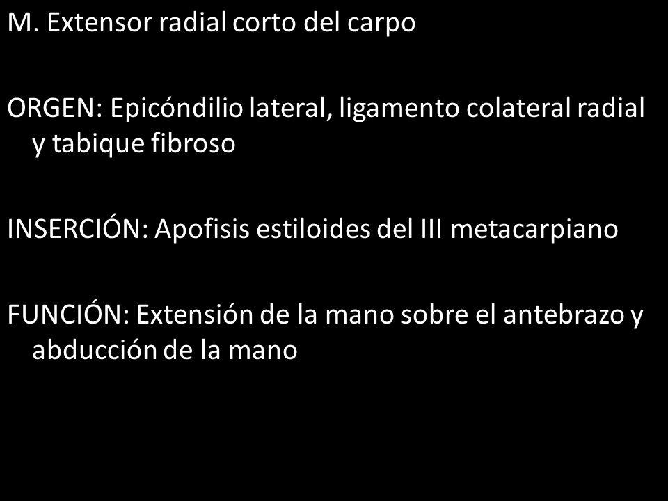 M. Extensor radial corto del carpo ORGEN: Epicóndilio lateral, ligamento colateral radial y tabique fibroso INSERCIÓN: Apofisis estiloides del III met