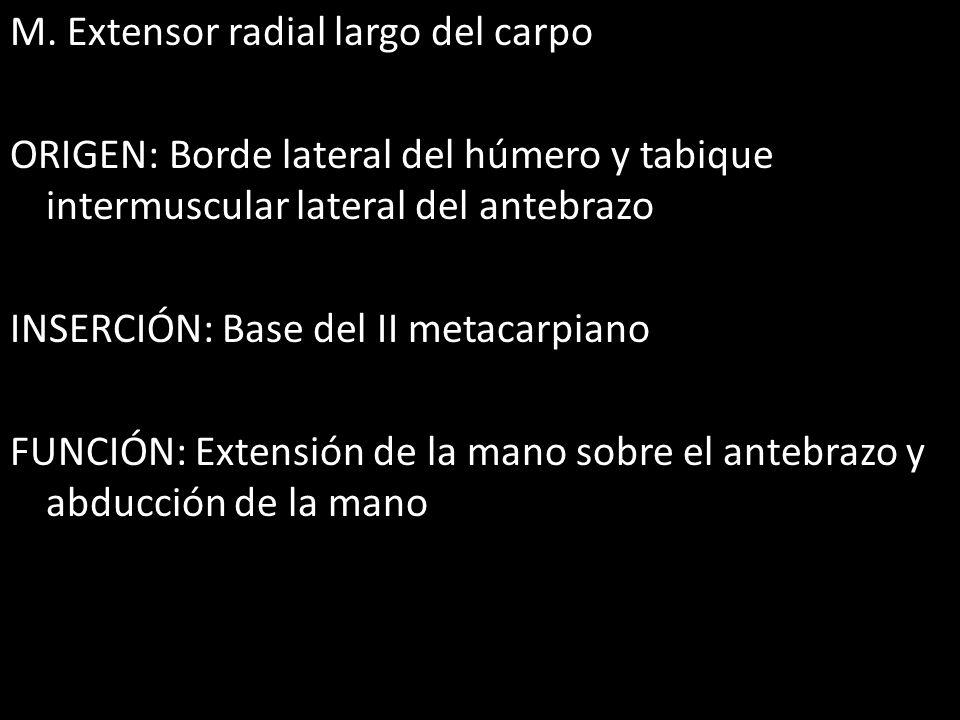 M. Extensor radial largo del carpo ORIGEN: Borde lateral del húmero y tabique intermuscular lateral del antebrazo INSERCIÓN: Base del II metacarpiano
