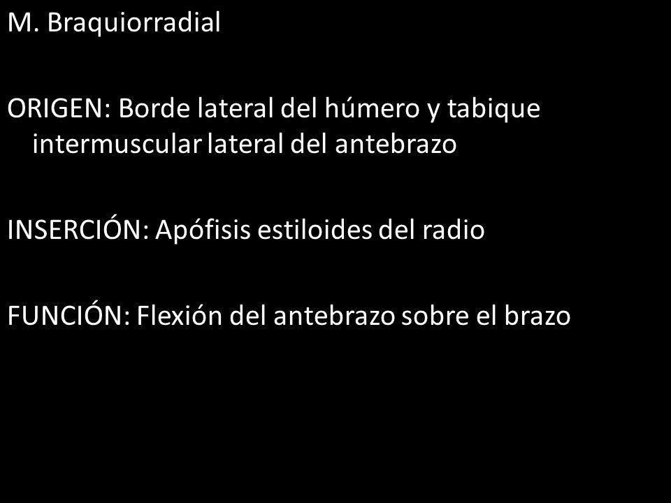 M. Braquiorradial ORIGEN: Borde lateral del húmero y tabique intermuscular lateral del antebrazo INSERCIÓN: Apófisis estiloides del radio FUNCIÓN: Fle