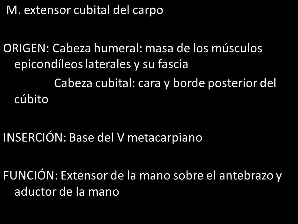 M. extensor cubital del carpo ORIGEN: Cabeza humeral: masa de los músculos epicondíleos laterales y su fascia Cabeza cubital: cara y borde posterior d