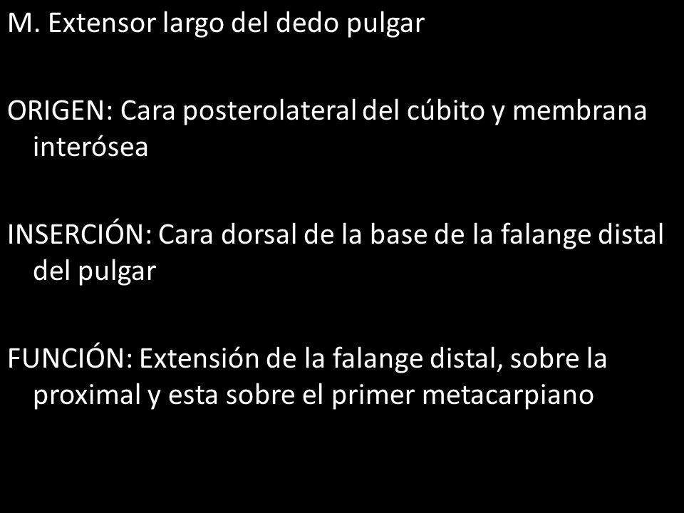 M. Extensor largo del dedo pulgar ORIGEN: Cara posterolateral del cúbito y membrana interósea INSERCIÓN: Cara dorsal de la base de la falange distal d