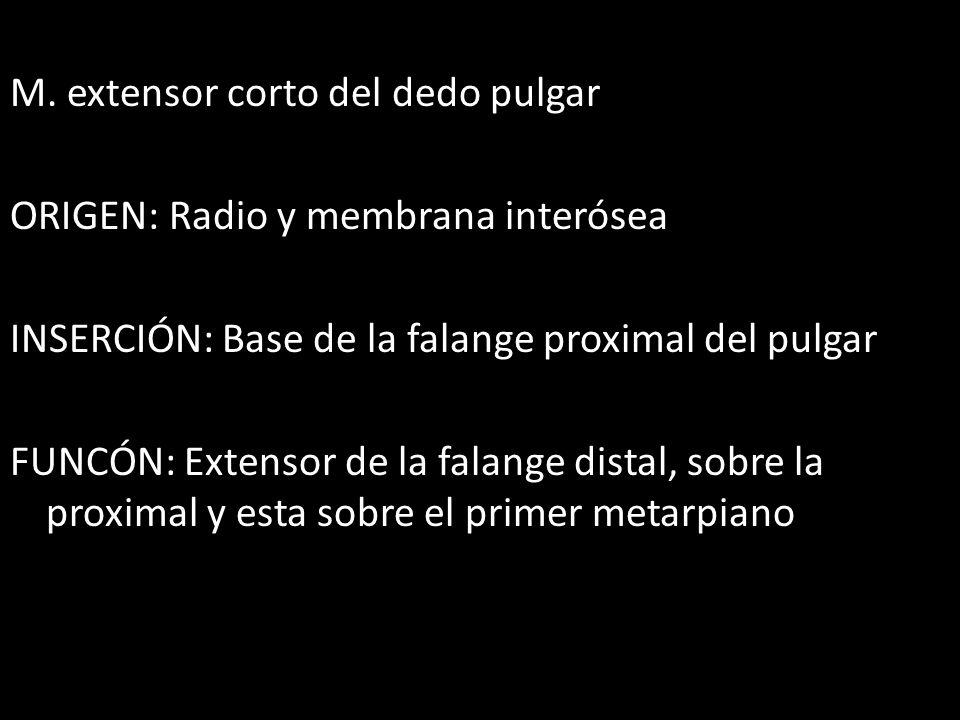 M. extensor corto del dedo pulgar ORIGEN: Radio y membrana interósea INSERCIÓN: Base de la falange proximal del pulgar FUNCÓN: Extensor de la falange