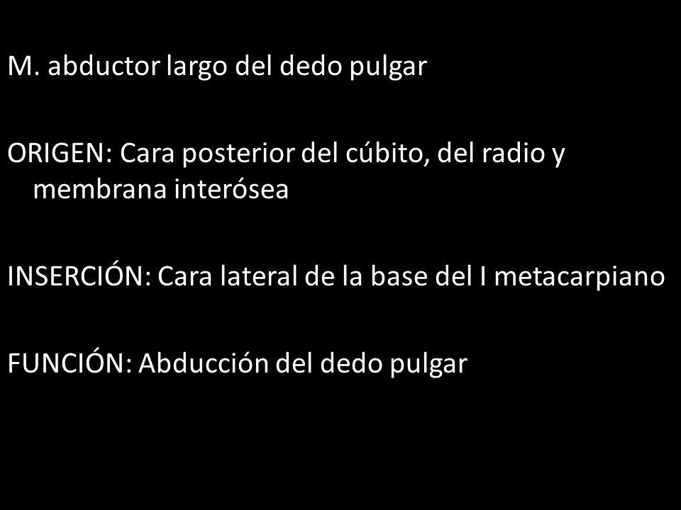 M. abductor largo del dedo pulgar ORIGEN: Cara posterior del cúbito, del radio y membrana interósea INSERCIÓN: Cara lateral de la base del I metacarpi