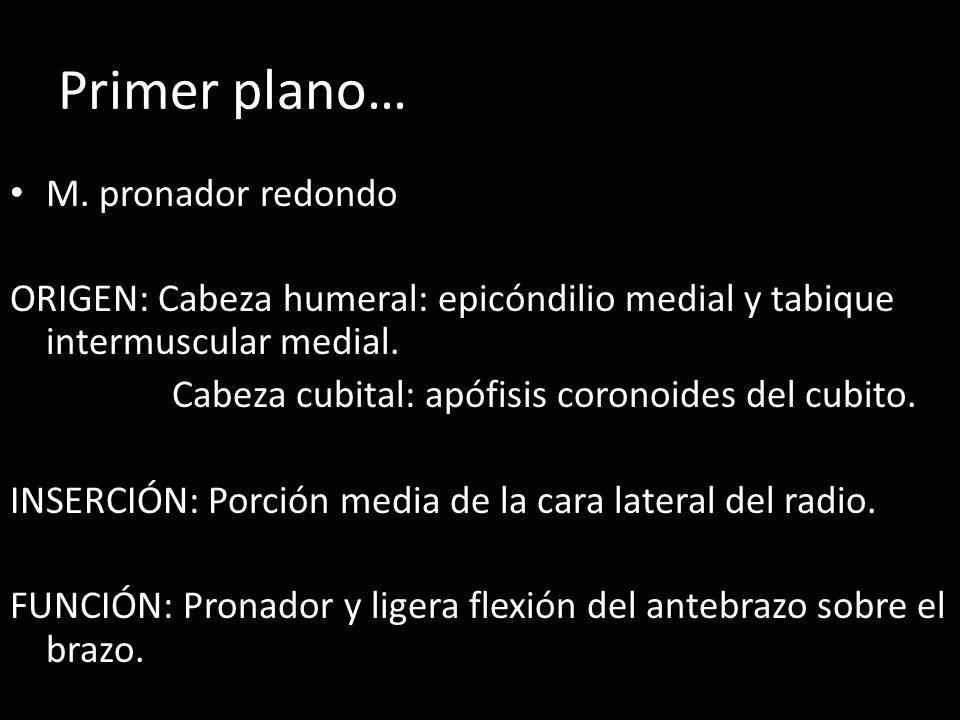 Primer plano… M. pronador redondo ORIGEN: Cabeza humeral: epicóndilio medial y tabique intermuscular medial. Cabeza cubital: apófisis coronoides del c