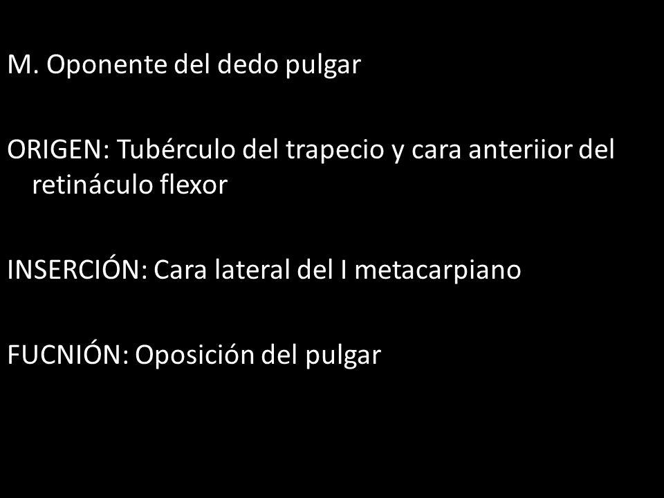 M. Oponente del dedo pulgar ORIGEN: Tubérculo del trapecio y cara anteriior del retináculo flexor INSERCIÓN: Cara lateral del I metacarpiano FUCNIÓN: