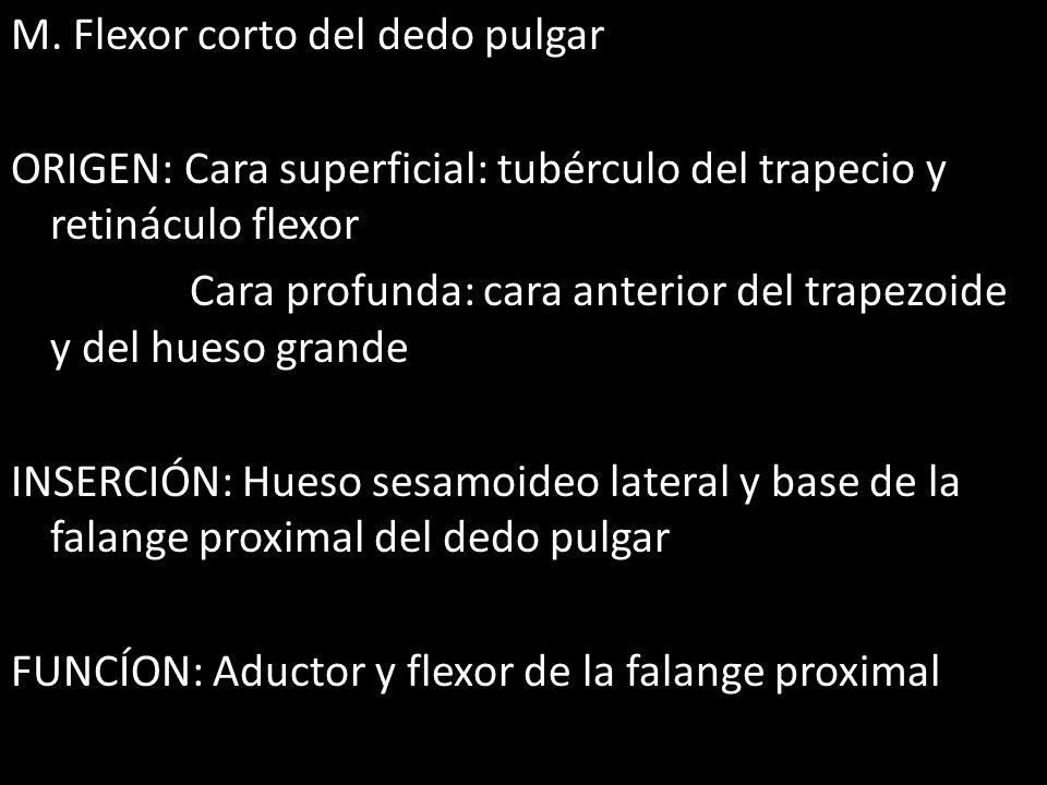 M. Flexor corto del dedo pulgar ORIGEN: Cara superficial: tubérculo del trapecio y retináculo flexor Cara profunda: cara anterior del trapezoide y del