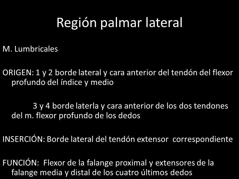 Región palmar lateral M. Lumbricales ORIGEN: 1 y 2 borde lateral y cara anterior del tendón del flexor profundo del índice y medio 3 y 4 borde laterla