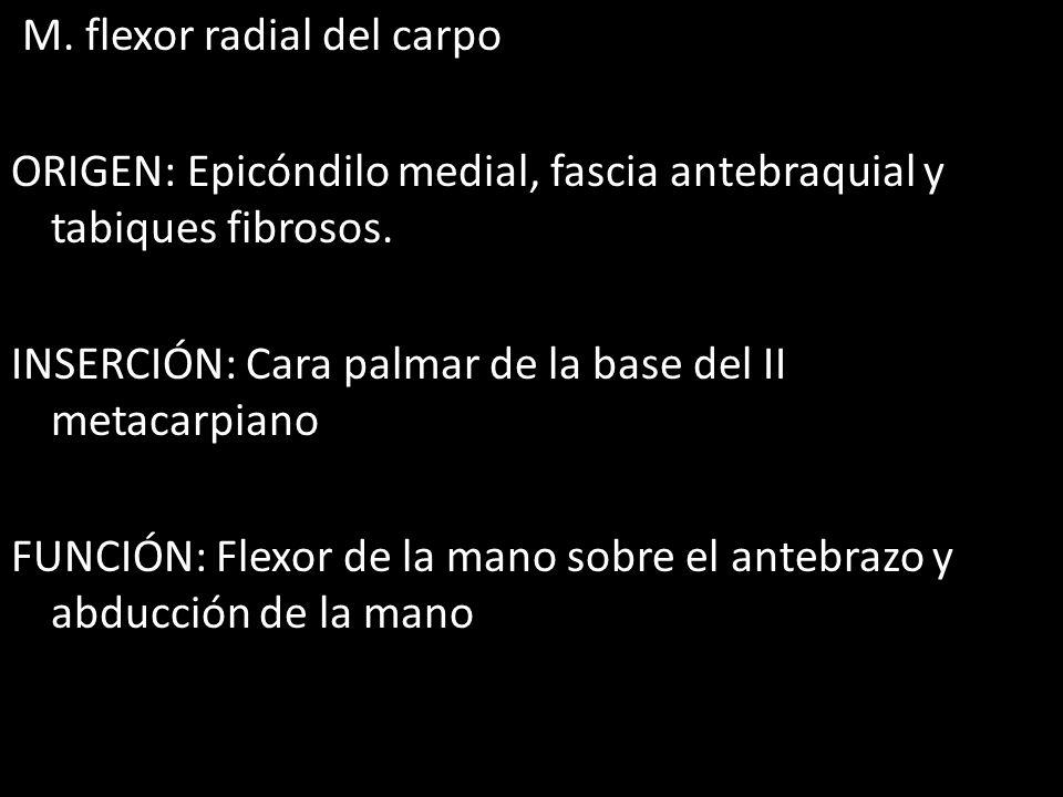 M. flexor radial del carpo ORIGEN: Epicóndilo medial, fascia antebraquial y tabiques fibrosos. INSERCIÓN: Cara palmar de la base del II metacarpiano F