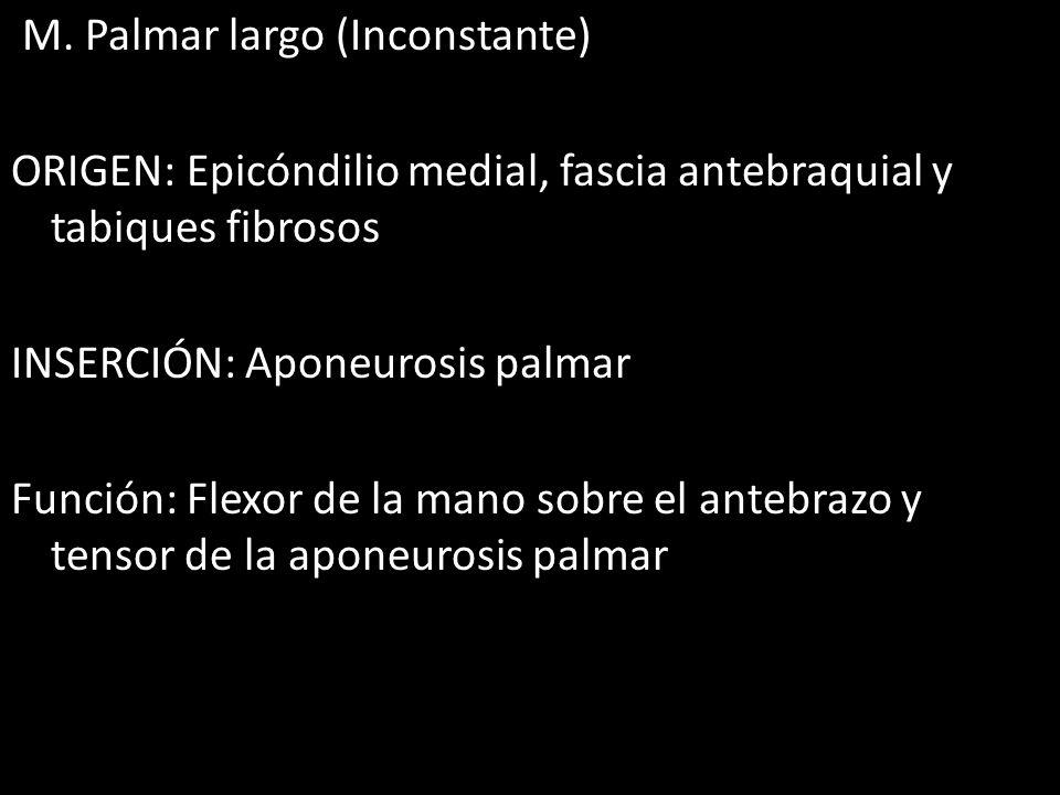 M. Palmar largo (Inconstante) ORIGEN: Epicóndilio medial, fascia antebraquial y tabiques fibrosos INSERCIÓN: Aponeurosis palmar Función: Flexor de la