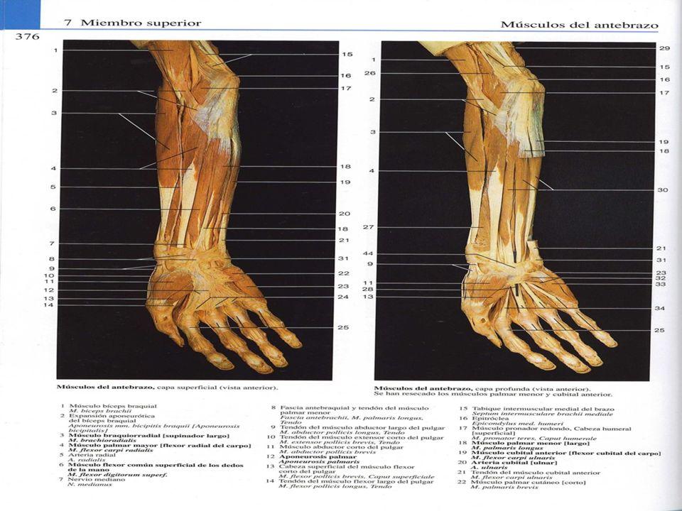 M.flexor cubital del carpo ORIGEN: Cabeza humeral: epicóndilio medial, tabiques fibrosos.