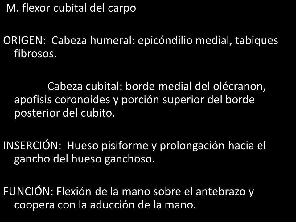 M. flexor cubital del carpo ORIGEN: Cabeza humeral: epicóndilio medial, tabiques fibrosos. Cabeza cubital: borde medial del olécranon, apofisis corono