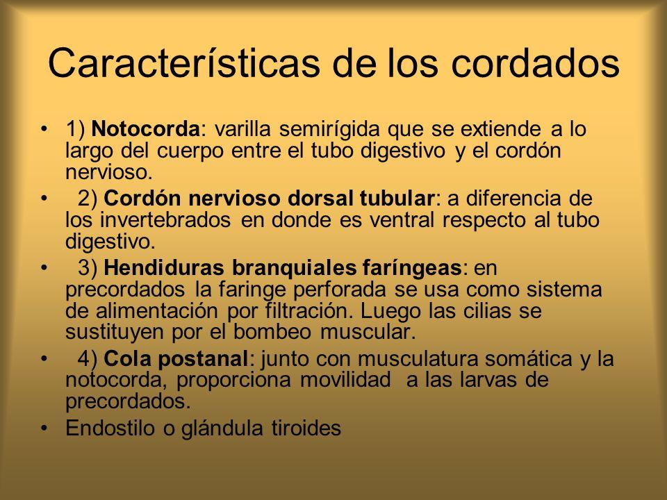 Características de los cordados 1) Notocorda: varilla semirígida que se extiende a lo largo del cuerpo entre el tubo digestivo y el cordón nervioso. 2