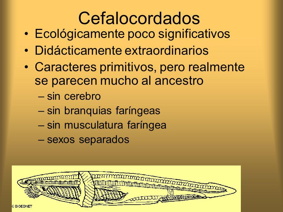 Cefalocordados Ecológicamente poco significativos Didácticamente extraordinarios Caracteres primitivos, pero realmente se parecen mucho al ancestro –s