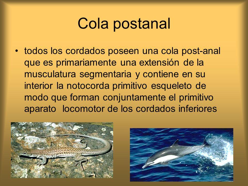 Cola postanal todos los cordados poseen una cola post-anal que es primariamente una extensión de la musculatura segmentaria y contiene en su interior
