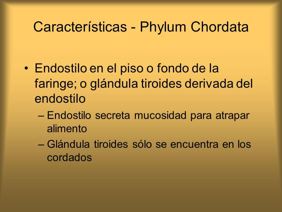 Características - Phylum Chordata Endostilo en el piso o fondo de la faringe; o glándula tiroides derivada del endostilo –Endostilo secreta mucosidad