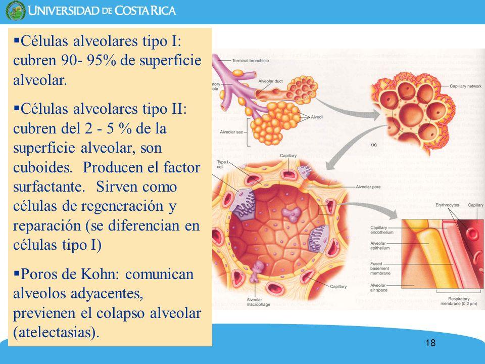 18 Células alveolares tipo I: cubren 90- 95% de superficie alveolar. Células alveolares tipo II: cubren del 2 - 5 % de la superficie alveolar, son cub