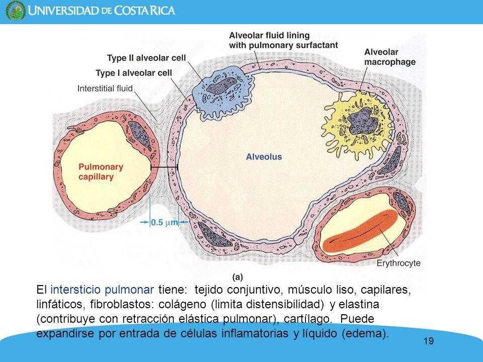 19 El intersticio pulmonar tiene: tejido conjuntivo, músculo liso, capilares, linfáticos, fibroblastos: colágeno (limita distensibilidad) y elastina (