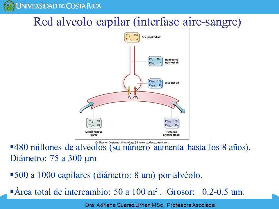 21 Red alveolo capilar (interfase aire-sangre) 480 millones de alvéolos (su número aumenta hasta los 8 años). Diámetro: 75 a 300 m 500 a 1000 capilare