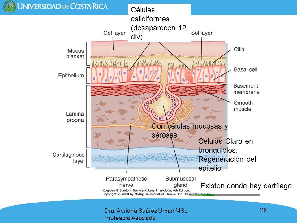 26 Dra. Adriana Suárez Urhan MSc. Profesora Asociada Células caliciformes (desaparecen 12 div) Células Clara en bronquiolos: Regeneración del epitelio