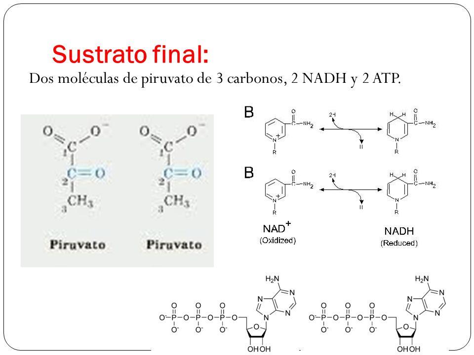 Sustrato final: Dos moléculas de piruvato de 3 carbonos, 2 NADH y 2 ATP.