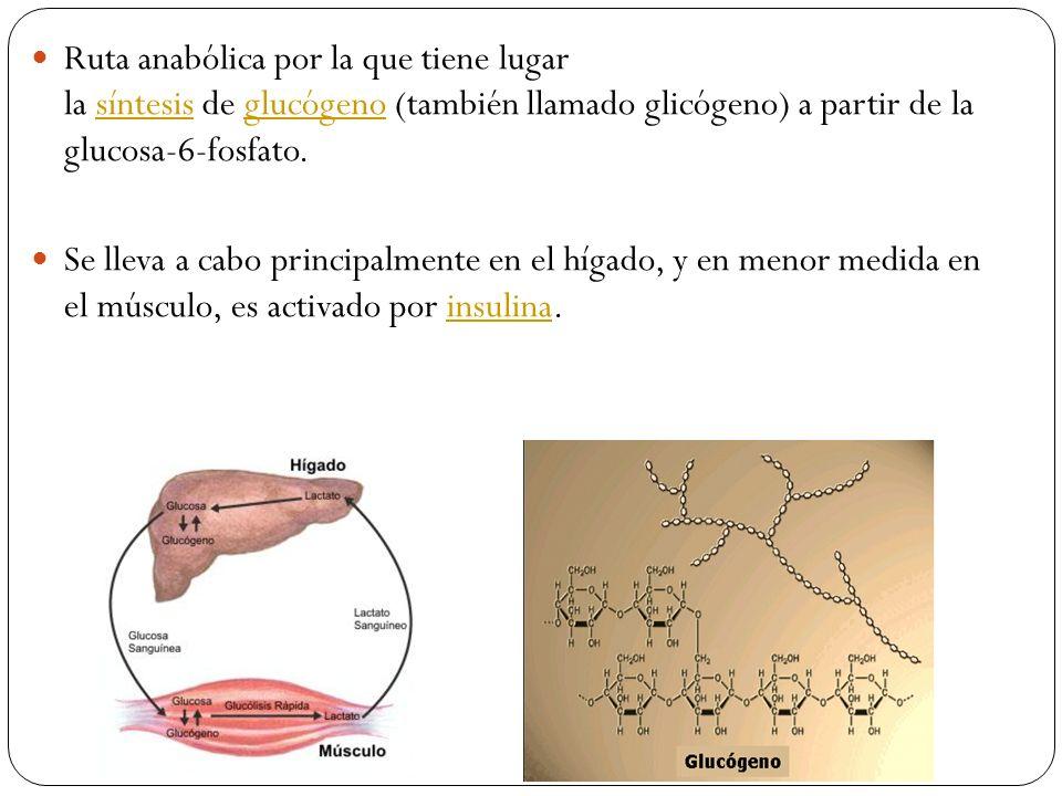 Ruta anabólica por la que tiene lugar la síntesis de glucógeno (también llamado glicógeno) a partir de la glucosa-6-fosfato.síntesisglucógeno Se lleva