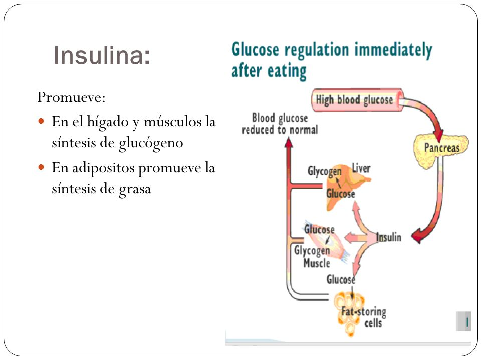 Insulina: Promueve: En el hígado y músculos la síntesis de glucógeno En adipositos promueve la síntesis de grasa