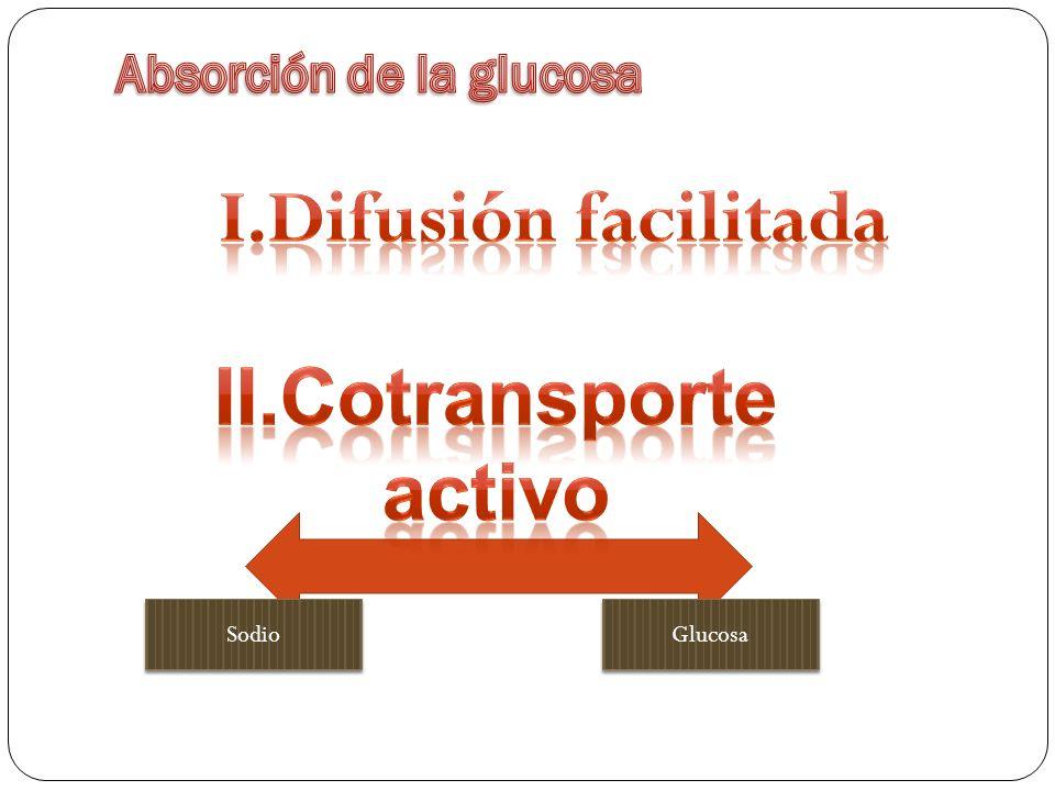 Es idéntico al de la glucosa Se absorbe por difusión facilitada Gran parte de la fructosa se transforma en glucosa mientras está en la célula epitelial