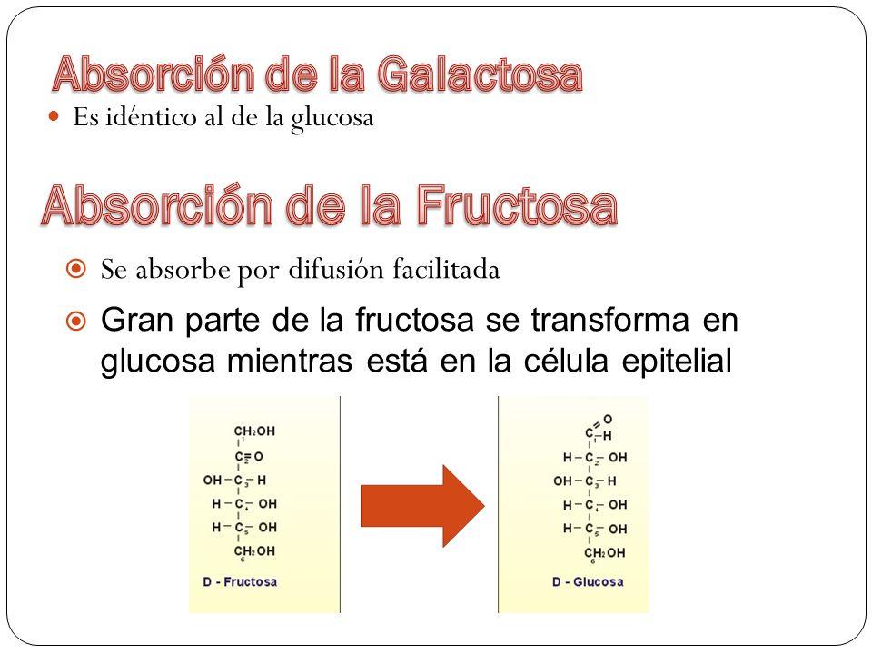 Es idéntico al de la glucosa Se absorbe por difusión facilitada Gran parte de la fructosa se transforma en glucosa mientras está en la célula epitelia