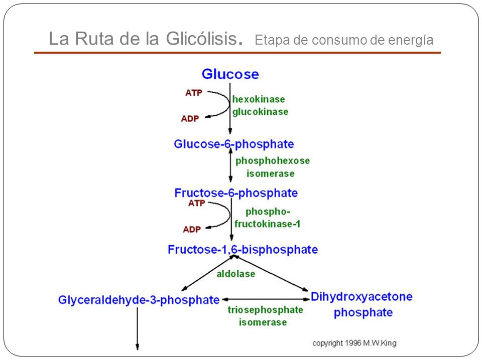 La Ruta de la Glicólisis. Etapa de consumo de energía