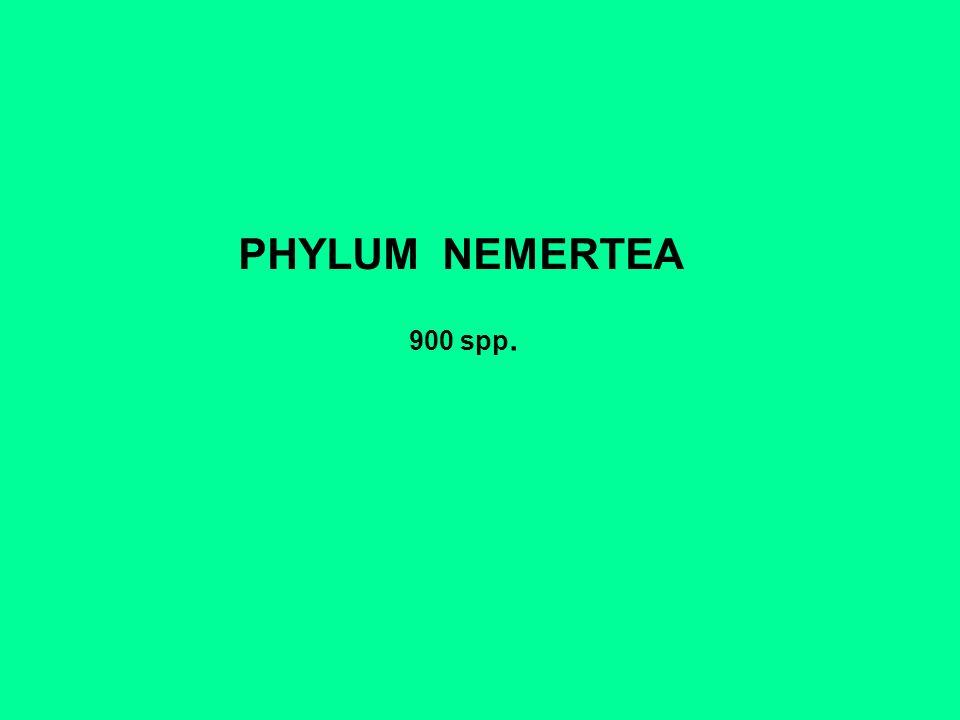 PHYLUM NEMERTEA 900 spp.