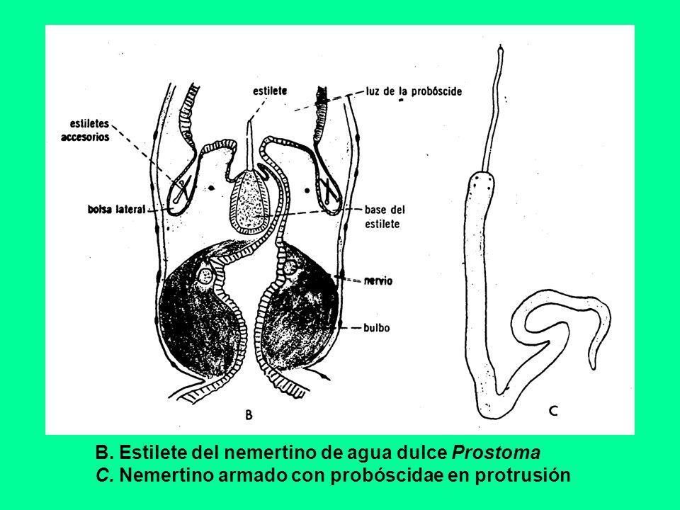 B. Estilete del nemertino de agua dulce Prostoma C. Nemertino armado con probóscidae en protrusión