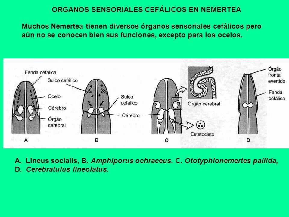 ORGANOS SENSORIALES CEFÁLICOS EN NEMERTEA Muchos Nemertea tienen diversos órganos sensoriales cefálicos pero aún no se conocen bien sus funciones, exc