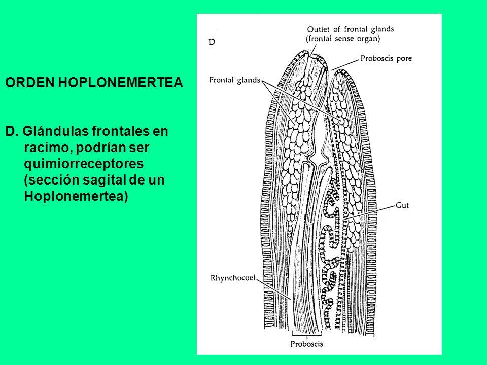 ORDEN HOPLONEMERTEA D. Glándulas frontales en racimo, podrían ser quimiorreceptores (sección sagital de un Hoplonemertea)