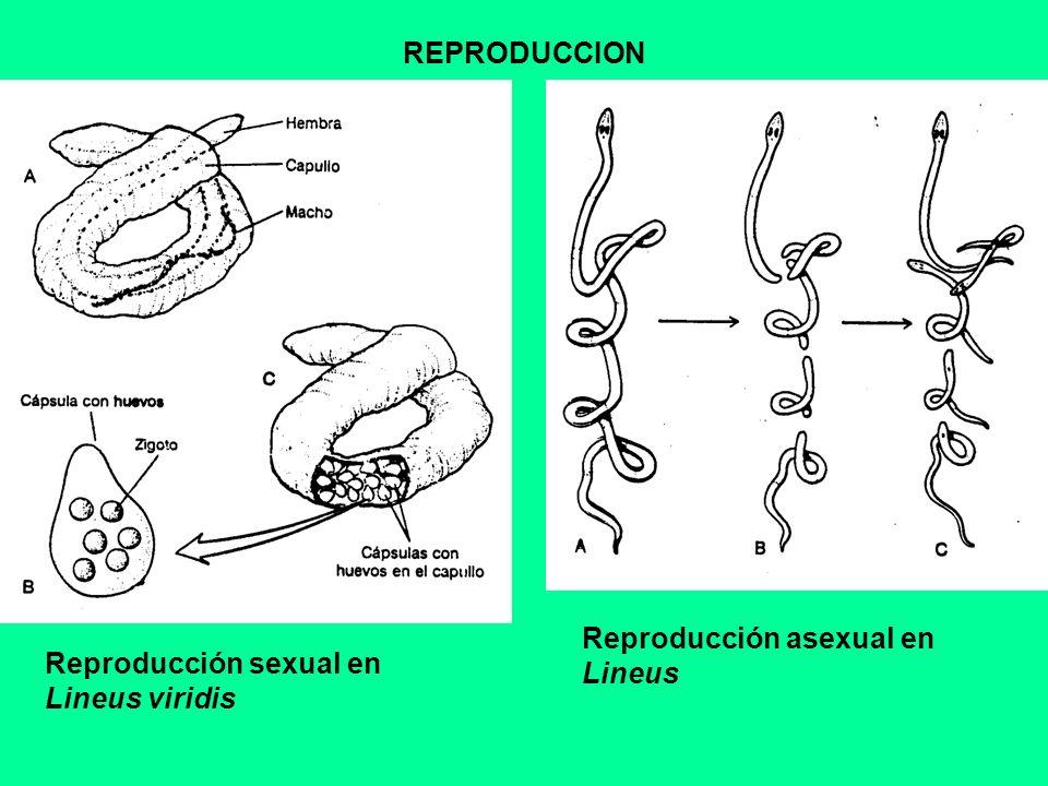 REPRODUCCION Reproducción sexual en Lineus viridis Reproducción asexual en Lineus