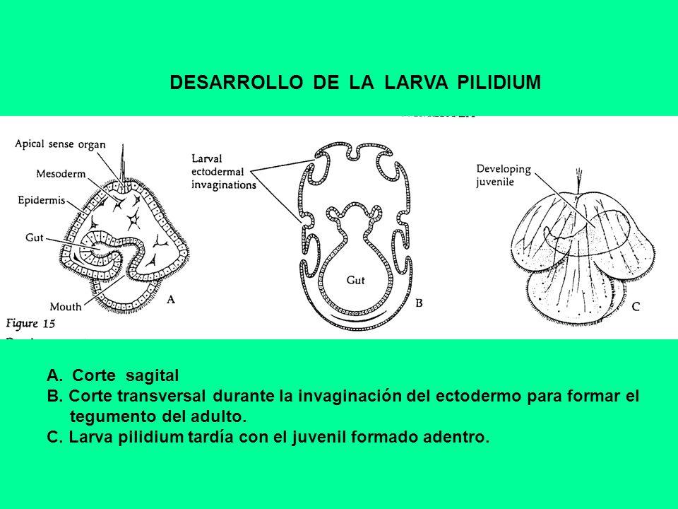 DESARROLLO DE LA LARVA PILIDIUM A.Corte sagital B. Corte transversal durante la invaginación del ectodermo para formar el tegumento del adulto. C. Lar
