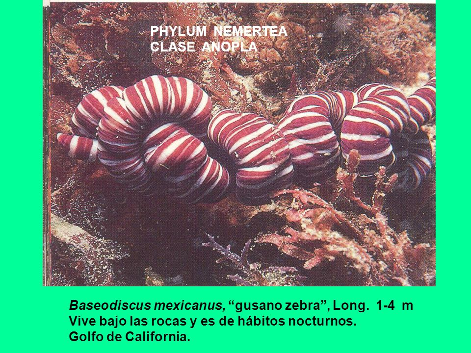 PHYLUM NEMERTEA CLASE ANOPLA Baseodiscus mexicanus, gusano zebra, Long. 1-4 m Vive bajo las rocas y es de hábitos nocturnos. Golfo de California.