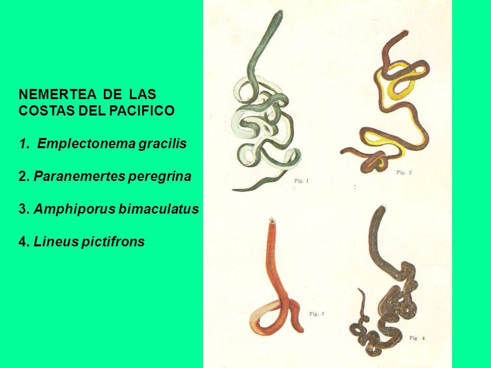NEMERTEA DE LAS COSTAS DEL PACIFICO 1.Emplectonema gracilis 2. Paranemertes peregrina 3. Amphiporus bimaculatus 4. Lineus pictifrons