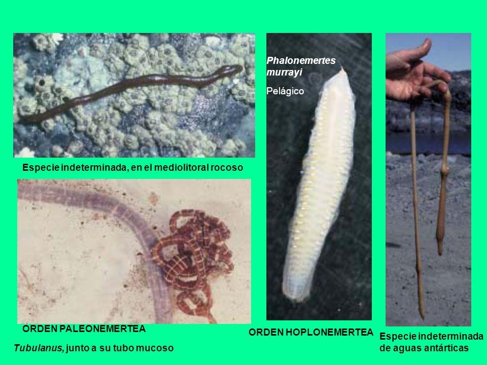 Especie indeterminada, en el mediolitoral rocoso Tubulanus, junto a su tubo mucoso ORDEN PALEONEMERTEA ORDEN HOPLONEMERTEA Phalonemertes murrayi Pelág