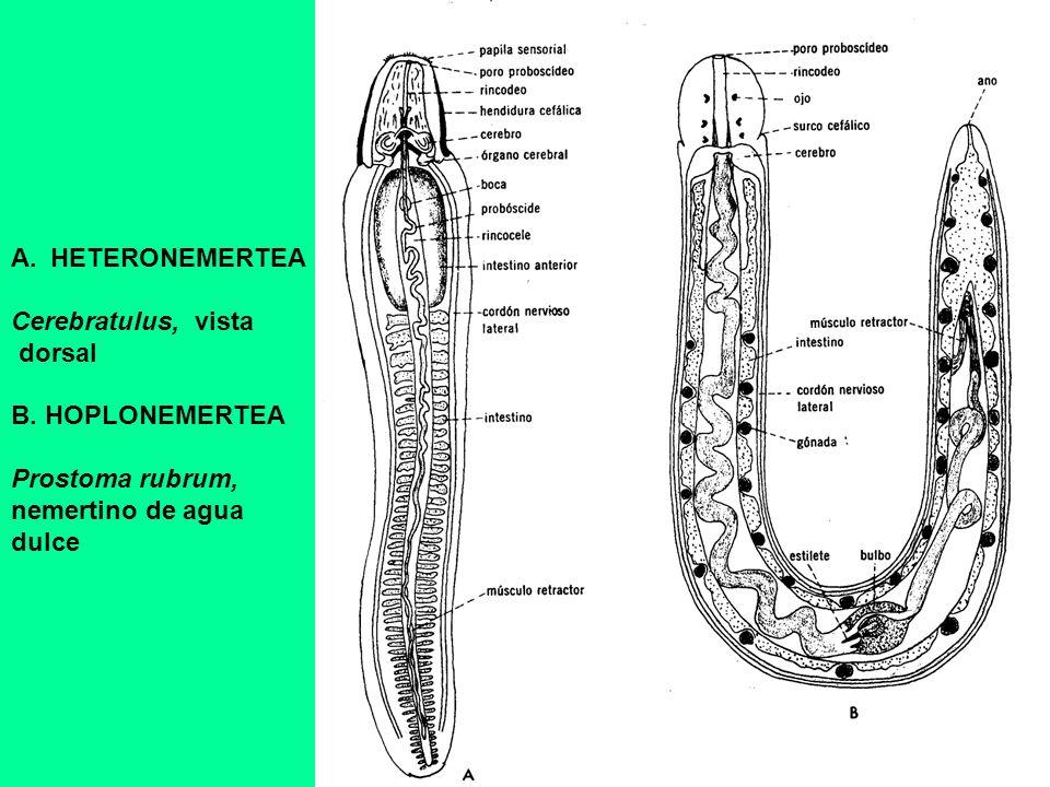A.HETERONEMERTEA Cerebratulus, vista dorsal B. HOPLONEMERTEA Prostoma rubrum, nemertino de agua dulce