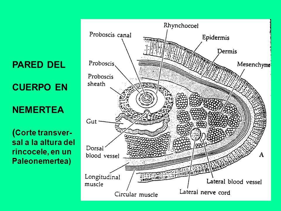 SISTEMA NERVIOSO Y ORGANOS SENSORIALES A.Parte anterior del sistema nervioso de Tubulanus B.