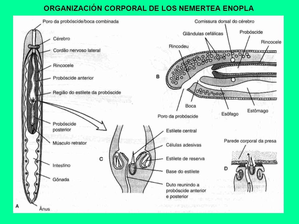 ORGANIZACIÓN CORPORAL DE LOS NEMERTEA ENOPLA