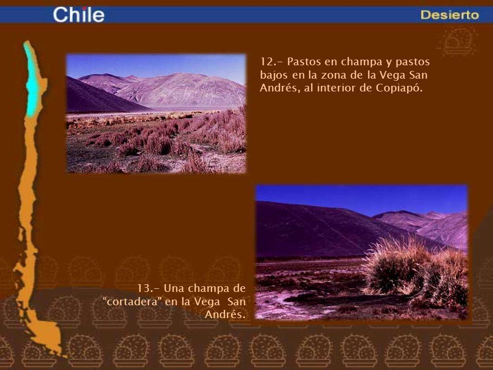 12.- Pastos en champa y pastos bajos en la zona de la Vega San Andrés, al interior de Copiapó. 13.- Una champa decortadera