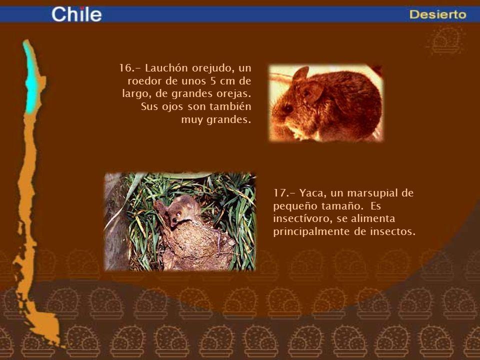 16.- Lauchón orejudo, un roedor de unos 5 cm de largo, de grandes orejas. Sus ojos son también muy grandes. 17.- Yaca, un marsupial de pequeño tamaño.