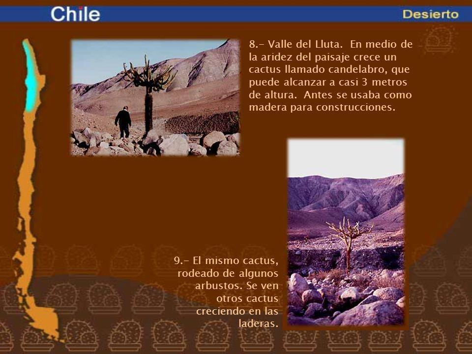 8.- Valle del Lluta. En medio de la aridez del paisaje crece un cactus llamado candelabro, que puede alcanzar a casi 3 metros de altura. Antes se usab