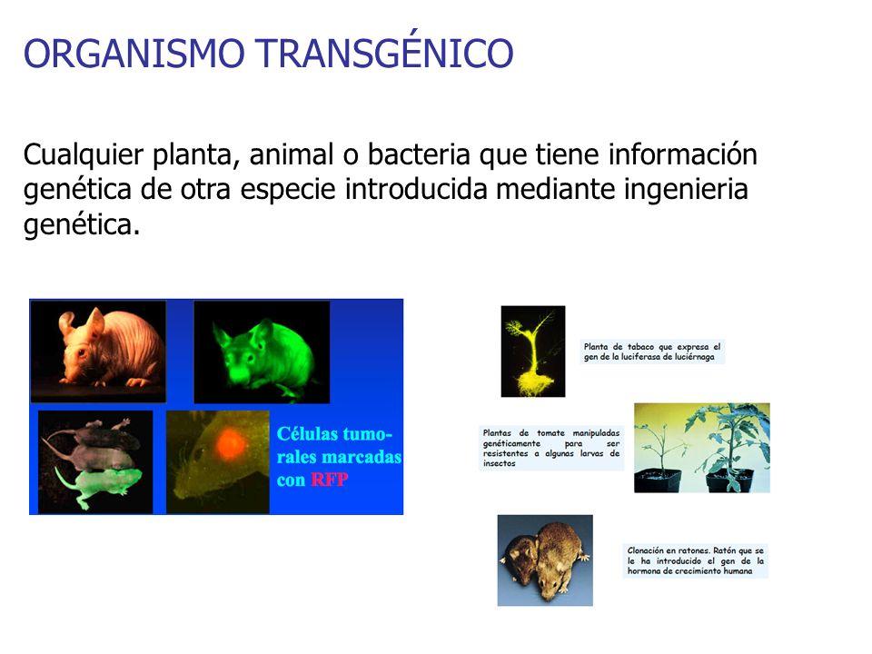 ORGANISMO TRANSGÉNICO Cualquier planta, animal o bacteria que tiene información genética de otra especie introducida mediante ingenieria genética.
