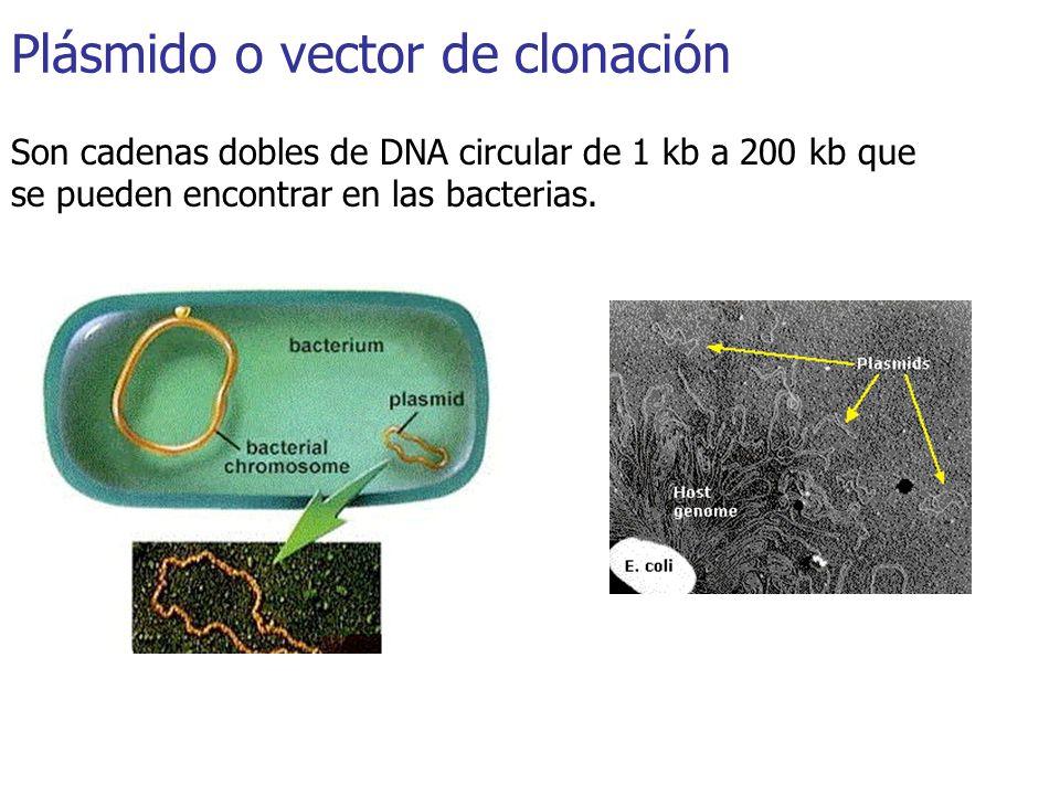 Plásmido o vector de clonación Son cadenas dobles de DNA circular de 1 kb a 200 kb que se pueden encontrar en las bacterias.